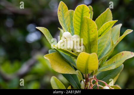 Strawberry Tree Flowers in Bloom - Stock Photo
