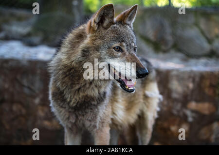 Gray wolf, beautiful and strong animal, with sad brown eyes. and bih fur. - Stock Photo