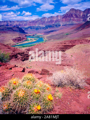 Cactus and Colorado River, Grand Canyon National Park, Arizona, Furnace Flats, Hilltop Ruin Stock Photo