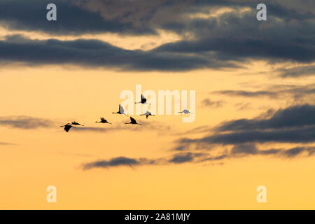 Migrating Common cranes (Grus grus) at sunset.