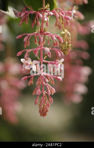Beautiful pink hanging tropical flowers - Stock Photo