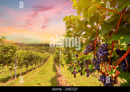Sunset over vineyards with red wine grapes in late summer - Stock Photo
