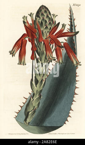 Blue aloe, Aloe glauca (Red-spined glaucous aloe, Aloe rhodacantha). Handcoloured copperplate engraving by F. Sansom Jr. after an illustration by Sydenham Edwards from William Curtis' Botanical Magazine, T. Curtis, London, 1810. - Stock Photo