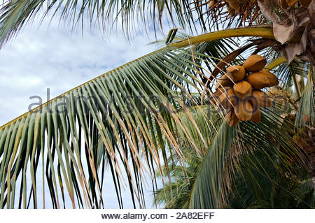 Palm leaf with cluster of coconut crop on coconut tree - Stock Photo