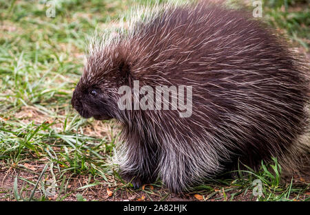 chubby north american porcupine - Stock Photo