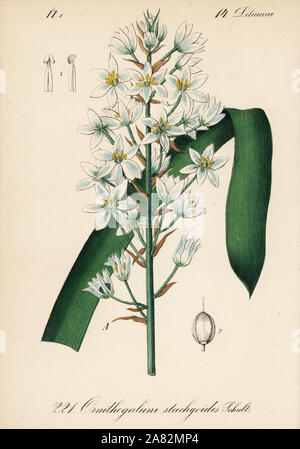 Narbonne Star-of-Bethlehem, Ornithogalum narbonense (Ornithogalum stachyoides). Handcoloured lithograph from Diederich von Schlechtendal's German Flora (Flora von Deutschland), Jena, 1871. - Stock Photo