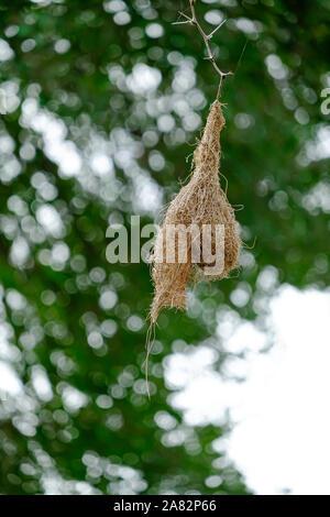 Weaver bird nest in Kruger National Park, South Africa