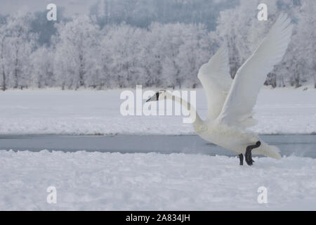 Trumpeter swan about to take flight - Stock Photo