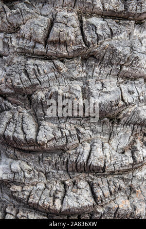 Bark texture background. Close-up of a light gray brown palm tree bark in spain with a hilly uneven surface whereby the natural sunlight caused differ - Stock Photo