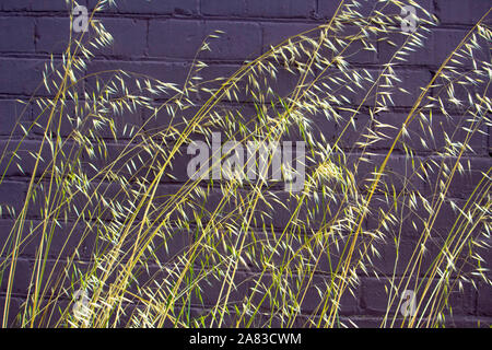 Dried and green Avena fatua wild oats growing in spring and summer against a  dark brick wall is a pasture  weed the seeds when ripe blowing away. - Stock Photo