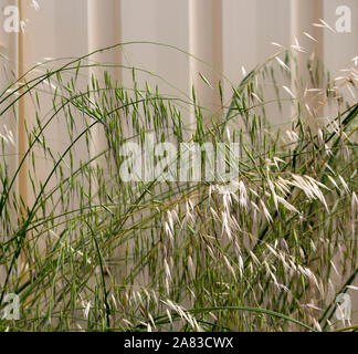 Dried and green Avena fatua wild oats growing in spring and summer against a cream metal fence is a pasture  weed the seeds when ripe blowing away. - Stock Photo
