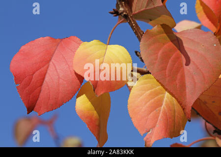 apricot fruit tree leavesin autumn or fall with the sun behind in Italy Latin prunus armeniaca rosaceae with deep orange, red and gold colours - Stock Photo