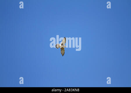 female kestrel Latin name falco tinnunculus with wings outstretched hunting above a field in Le Marche in Italy - Stock Photo
