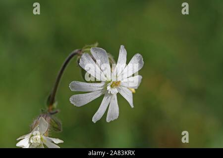 white campion similar to bladder campion or maidens tears Latin silene latifolia not vulgaris from the pink family caryophyllaceae edible wild flower - Stock Photo