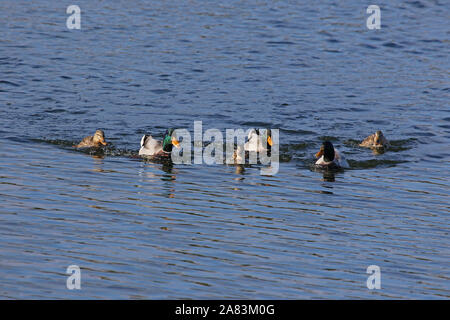 three pairs of mallards male and female ducks Latin name Anas platyrhynchos family anatidae swimming in a lake in Porto Potenza Picena in Italy - Stock Photo