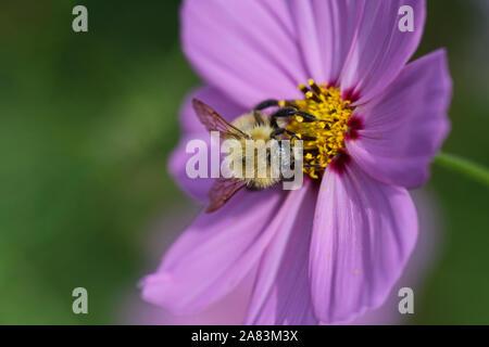 orange bee probably a cuckoo bee psithyrus barbutellis close up collecting pollen on a garden cosmos bipinnatus flower also called a Mexican aster - Stock Photo