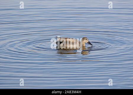 Male gadwall duck Latin name anas strepera family anatidae vulnerable status swimming in the Sentina nature reserve in Porto D'Ascoli Le Marche Italy - Stock Photo
