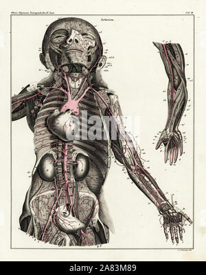 Anatomy of the human arterial system in the upper torso. Handcoloured lithograph by St. Schillinger from Lorenz Oken's Universal Natural History, Allgemeine Naturgeschichte fur alle Stande,  Stuttgart, 1839. - Stock Photo