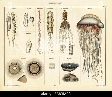 Varieties of jellyfish, siphonophores and medusae. Including Portuguese man o'war, Physalia physalis, Physophora hydrostatica, sea raft jellyfish, Velella velella, and blue button, Porpita porpita. Lithograph from Lorenz Oken's Universal Natural History, Allgemeine Naturgeschichte fur alle Stande, Stuttgart, 1841. - Stock Photo