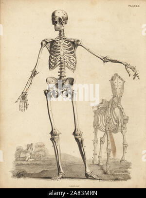 Human male skeleton from the front, with horse skeleton by George Stubbs. Copperplate engraving by Edward Mitchell after an anatomical illustration by Bernhard Siegfried Albinus from John Barclay's A Series of Engravings of the Human Skeleton, MacLachlan and Stewart, Edinburgh, 1824.