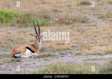 Thomson's gazelle sitting in the grass in Africa, portrait - Stock Photo