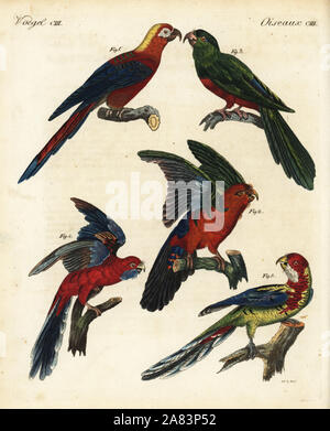 Extinct Cuban red macaw, Ara tricolor 1, blue backed parrot, Tanygnathus sumatranus, male 2, female 3, crimson rosella, Platycercus elegans 4, and Eastern rosella, Platycercus eximius 5. Handcoloured copperplate engraving by Theodore Goetz from Friedrich Johann Bertuch's Bilderbuch fur Kinder (Picture Book for Children), Weimar, 1823. - Stock Photo