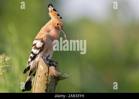 hoopoe sings a song in spring