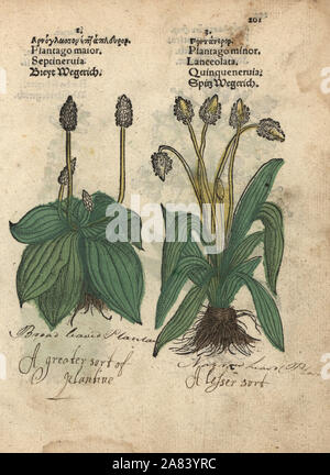 Plantain, Plantago major, and ribwort plantain, Plantago lanceolata. Handcoloured woodblock engraving of a botanical illustration from Adam Lonicer's Krauterbuch, or Herbal, Frankfurt, 1557. This from a 17th century pirate edition or atlas of illustrations only, with captions in Latin, Greek, French, Italian, German, and in English manuscript. - Stock Photo