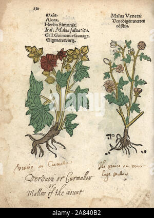 Greater musk-mallow, Malva alcea. Handcoloured woodblock engraving of a botanical illustration from Adam Lonicer's Krauterbuch, or Herbal, Frankfurt, 1557. This from a 17th century pirate edition or atlas of illustrations only, with captions in Latin, Greek, French, Italian, German, and in English manuscript. - Stock Photo