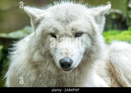 Arctic Wolf (Canis lupus arctos) also known as White Wolf, closeup in rain - Stock Photo