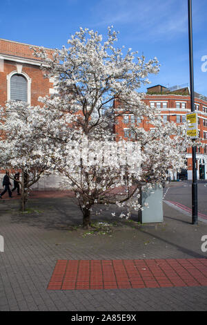 Magnolia x loebneri 'Merrill' used as a street tree near St George the Martyr Church, Borough, London SE1 - Stock Photo