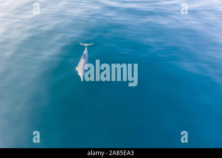 A Spinner dolphin, Stenella longirostris, swims in the blue waters of Komodo National Park, Indonesia. - Stock Photo