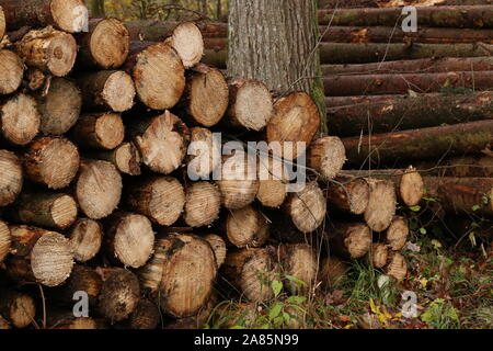 Freshly felled and sawn tree trunks in the forest - Stock Photo