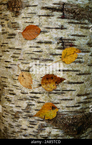Autumn leaves resting on a fallen Silver birch tree. - Stock Photo