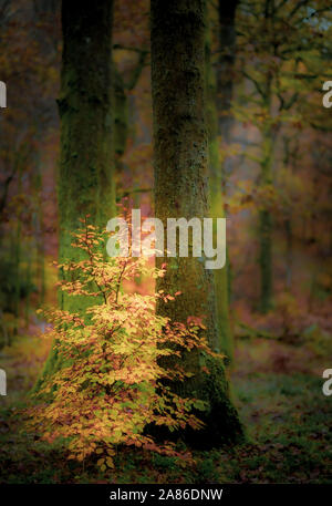 Young Beech Tree in autumn in an English woodland - Stock Photo