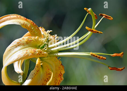 Tiger Lily or Lilium Henri at the Botanical Gardens in New Mexico. - Stock Photo