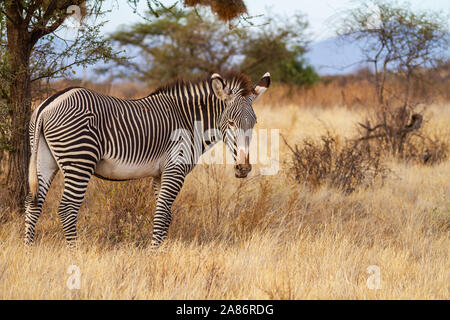 Grevy Grévy's Grevy's zebra, Equus grevyi, with black and white narrow stripes. Samburu National Reserve, Kenya, East Africa. Endangered species - Stock Photo