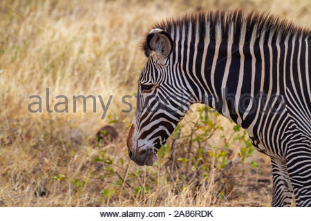 Grevy Grévy's Grevy's zebra, Equus grevyi, with black and white narrow stripes. Samburu National Reserve, Kenya, East Africa. Close up head profile. - Stock Photo