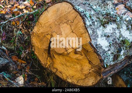 Trunk of beech cut in the Hayedo de Montejo in early autumn - Stock Photo