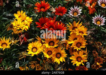 Lovely Gazania Flowers in three colors - Stock Photo