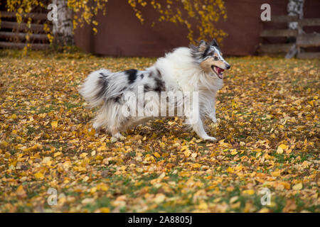 Cute blue merle shetland collie is running on yellow leaves in the autumn park. Pet animals. Purebred dog. - Stock Photo