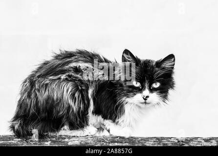big homeless shaggy black and white cat. Photo. Stock Photo
