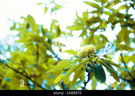 A branch of Chestnuts on a Sweet Chestnut Tree, Castanea sativa, growing in woodland in Spinoso, Basilicata, Italy - Stock Photo