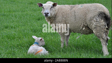 Mother and baby lamb in a field - Stock Photo