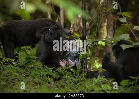 Celebes crested macaque (Macaca nigra), locally known as yaki, at Tangkoko Batuangus Nature Reserve in North Sulawesi, Indonesia. © Reynold Sumayku - Stock Photo