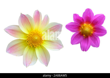 Dahlia flower heads isolate. Yellow with pink and lilac dahlia. Flowers on a white background for design. - Stock Photo