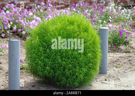 Kochia is a summer cypress, close-up. A summer cypress kohya against the background of an exuberant petunia blossoming. A unique plant, which is widel - Stock Photo