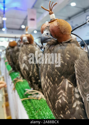 A hunting falcon wearing a hood cover over its head during the falcon festival - Stock Photo