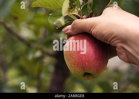 Ripe red side apple in woman's hand, surrounded by green leaves and branches of real apple tree. Autumn or summer harvest time and healthy eating conc