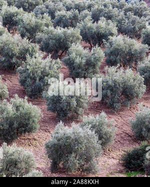 Olive grove in Andalusia, southern Spain. - Stock Photo